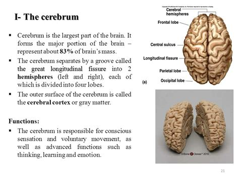 the largest section of the brain is the the central nervous system cns ppt download