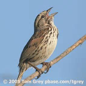 song sparrows learn to sing birdnote
