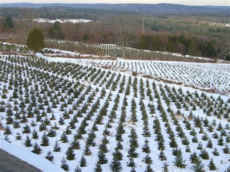 christmas tree farms in connecticut ct now