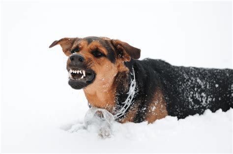 aggressive puppy behavior top 3 reasons for aggressive behavior and what to do about it simply for dogs