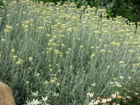 fiori di liquirizia elicriso perpetuino tignamica semprevivo il giardino