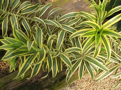 foliage plants in india plant guide dracaena reflexa song of india