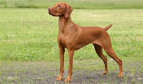 vizla puppy vizsla breed information