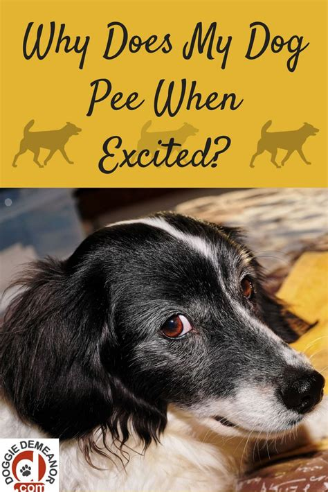 puppy pees when excited 60 best images about doggie demeanor posts on