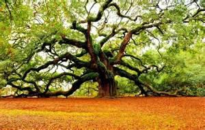 angel oak tree south carolina saw pinterest