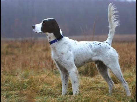 english setter dog wiki english setter dog breed english setter dog breed