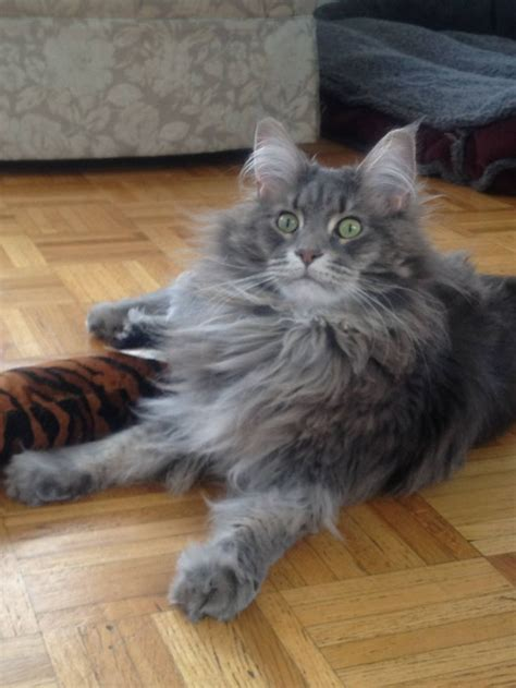 What Cats Do Not Shed by Maine Coon Cat 09 Cats Maine Coons And Mc Mixes