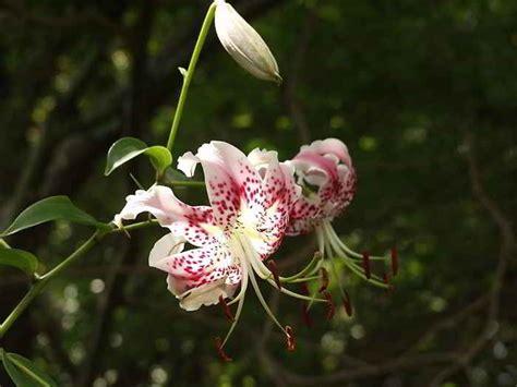 wallpaper bunga bakung kumpulan gambar bunga bakung lily terindah alamendah s