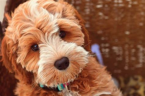 labradoodle puppies california serenity springs labradoodles australian labradoodles puppies california
