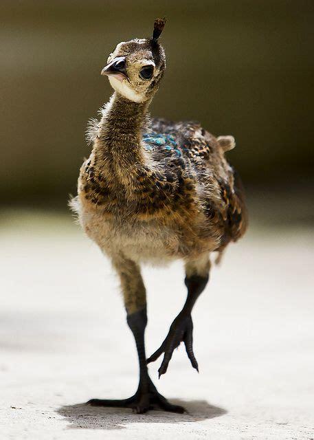 baby peacock asain peafowl natural wonders pinterest