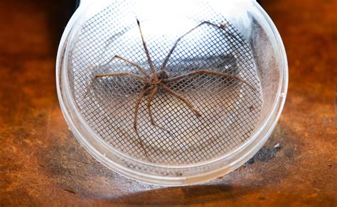 giant house spider seattle truth not myth about spiders the columbian