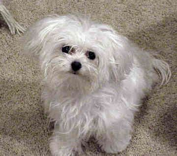 how many puppies can a maltese maltese breed information puppies pictures