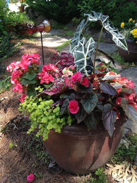 1000 images about begonia planter ideas on pinterest container gardening shade annuals and palms