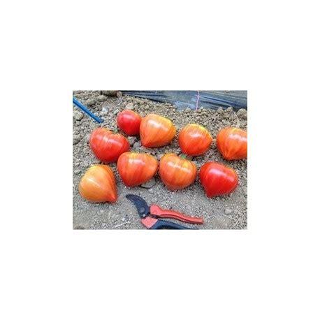 pomodori cuore di bue in vaso pianta di pomodoro cuor di bue f1 cupidissimo vaso 10 cm
