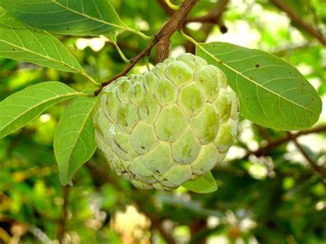 custard apple fruit tree annona squammosa custard apple sugar apple sita phal