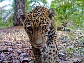 Jaguar Facts Facts About Jaguars