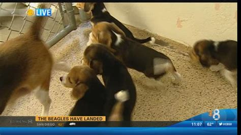 beagle puppies san diego more than 35 beagle puppies up for adoption at humane society times of san diego