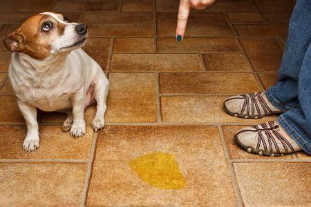 dog urinating in house советы как приучить щенка к лотку syl ru