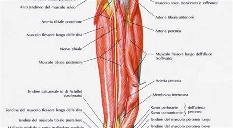dolore adduttore interno coscia anatomia muscoli della gamba parte seconda santucci