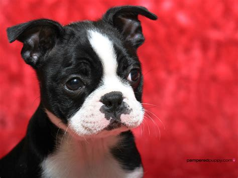 puppy boston terrier boston terrier puppy dogs wallpaper 13518448 fanpop