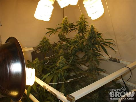 cfl ls for growing weed growing pot with cfl lights iron blog