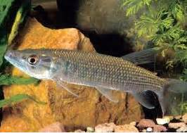 Pakan Ikan Predator Air Tawar jenis jenis ikan predator air tawar nama nama hewan