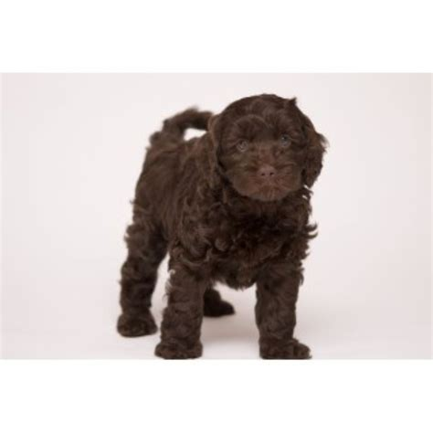 free puppies in asheville nc cove lake labradoodles labradoodle breeder in asheville carolina listing id