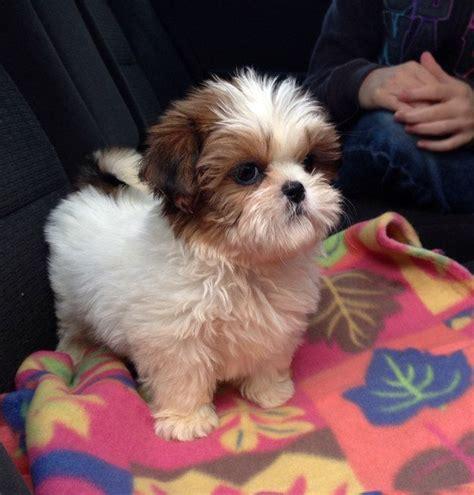 cutest shih tzu puppy best 25 cutest puppy ideas on