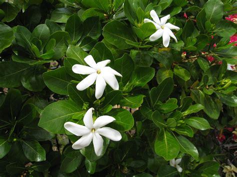 Gardenia Taitensis File Gardenia Taitensis 1 Jpg Wikimedia Commons