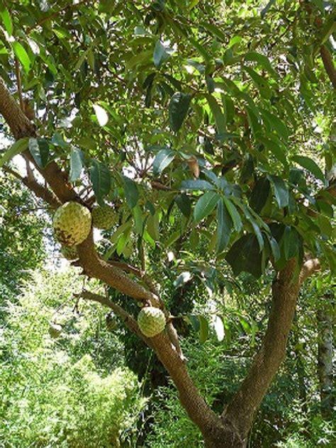 guanabana amazing cancer killing fruit