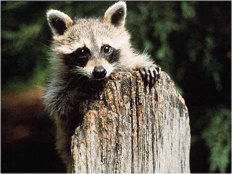 what to do if a raccoon is in your backyard swinespi funny pictures cute raccoons raccoon pictures