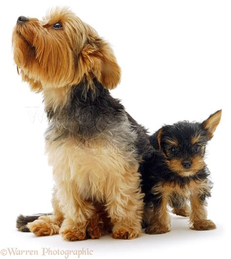 Dogs: Yorkshire Terrier and pup photo WP02709