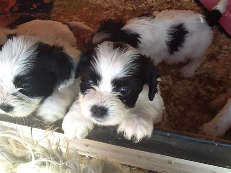 shih tzu cocker spaniel mix stunning quot cocker tzus quot cockerspaneil x shih tzu norfolk pets4homes