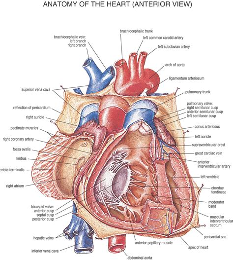 sectional anatomy of the heart fysiurgisk mass 248 r tag h 229 nd om din krop