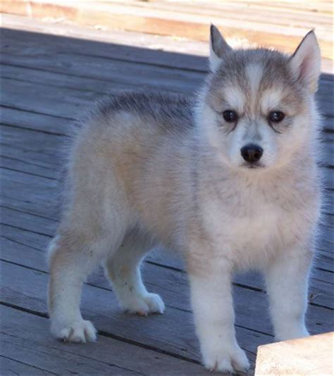 brown and white husky puppy puppy husky in four tones with white grey light brown and colors png
