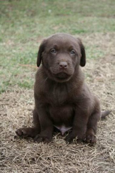 silver lab puppies for sale in california lab puppies for sale california charcoal labs silver labradors