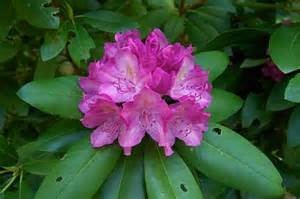state flower of virginia rhododendron west virginia state flower garden ideas