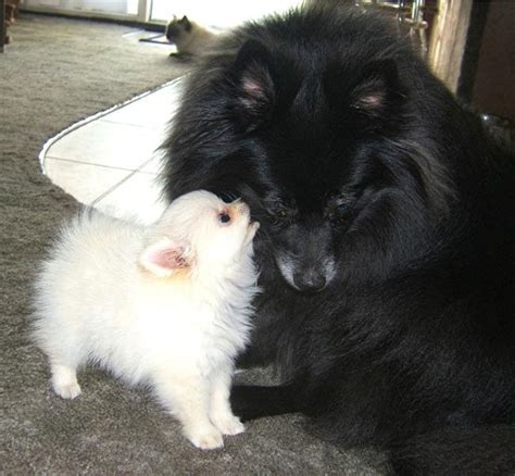 black and pomeranian puppies black and pomeranian puppy breeds picture