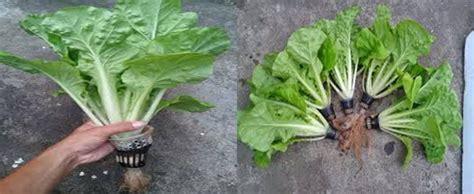 cara membuat tanaman hidroponik yang mudah cara mudah menanam sawi hidroponik sendiri di rumah dengan