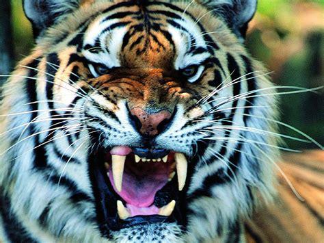 imagenes de leones vs tigres duelo animal le 243 n vs tigre