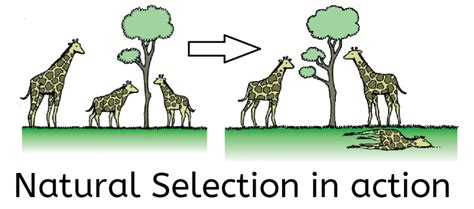what is natural section can natural selection make anything