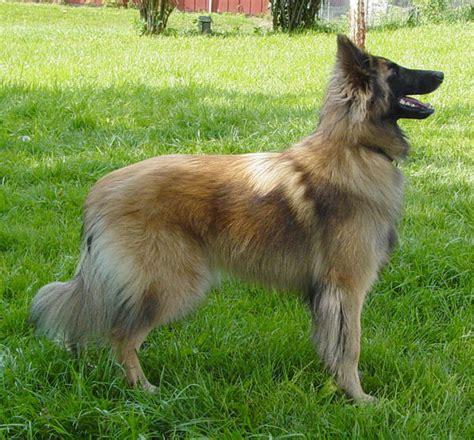 belgian dogs belgian dogs breeds breeds