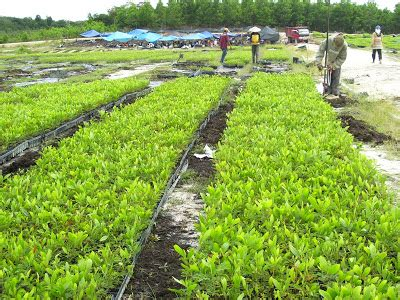 Bibit Acacia Mangium reforestation plantation acacia mangium 187 kesehatan