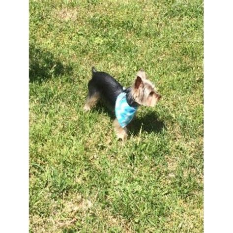 yorkie rescue knoxville tn keith mccroskey terrier stud in knoxville tennessee