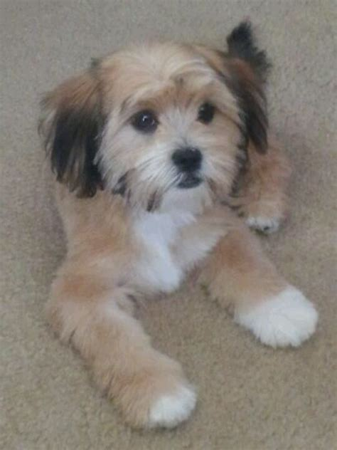 pictures of shorkie dogs with long hair 561 best images about adorable on pinterest