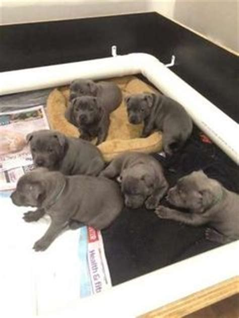 are all puppies born with blue blue staffys for sale http www pups4sale au breed 491