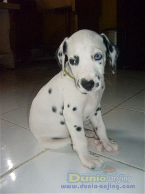 dalmatian puppies for sale ma dunia anjing jual anjing dalmatian available dalmatian puppies for sale