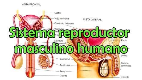 aparato reproductor masculino youtube el sistema reproductor masculino humano youtube