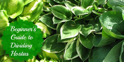 beginners guide to dividing hostas tales of a ranting ginger