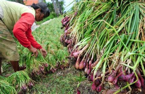 Benih Bawang Merah Di Nganjuk nurdin abdullah bicara kemiskinan di pangkep petani bawang bantaeng menjerit mata sulsel
